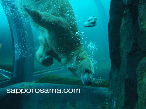 円山動物園のホッキョクグマ。プールで泳ぐ.png