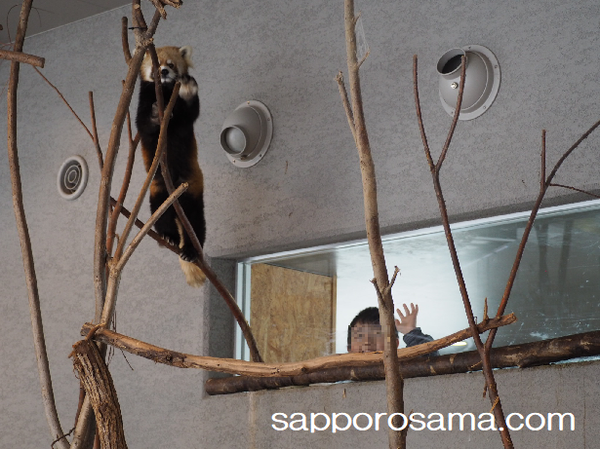 円山動物園のレッサーパンダと小3長男.png