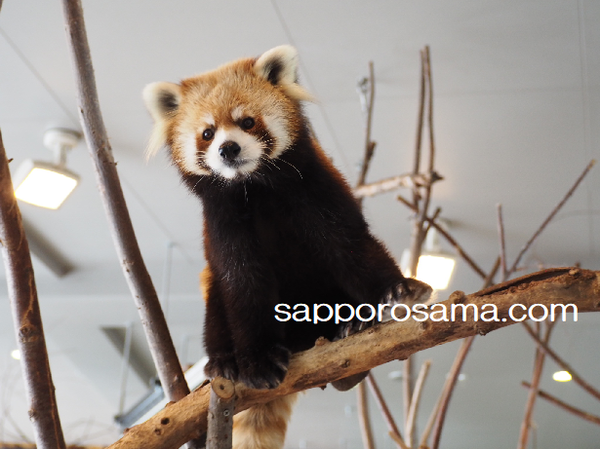 円山動物園のレッサーパンダ室内.png