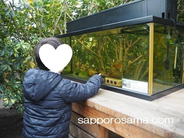 函館市熱帯植物園温室内ピラニア.jpg