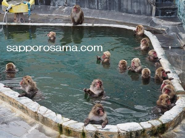 函館市熱帯植物園温泉に入る猿.jpg